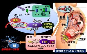 野生生物における有機ハロゲン化合物の代謝活性化過程